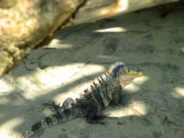 Iguana Manuel Antonio