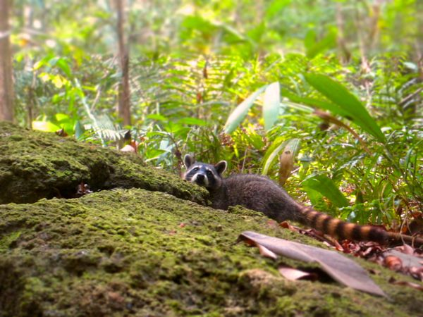 Manuel Antonio Raccoon
