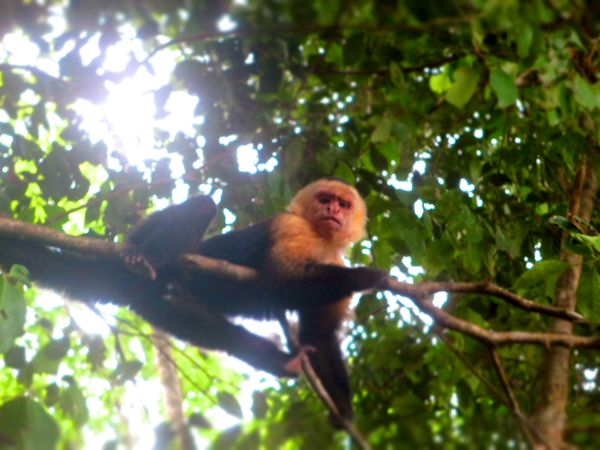 White Face Monkey Manuel Antonio