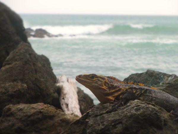 Iguana Manuel Antonio Park