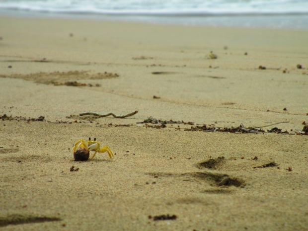 crab puerto viejo