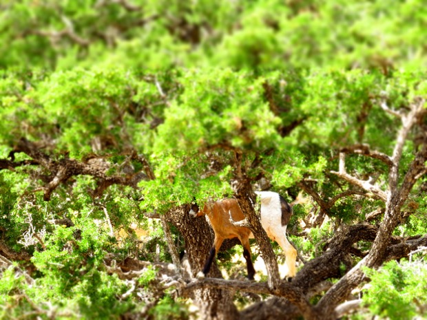 argan trees goats