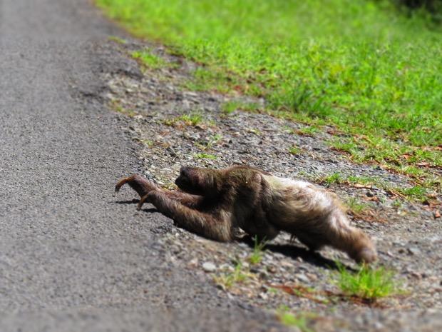 Sloth Puerto Viejo
